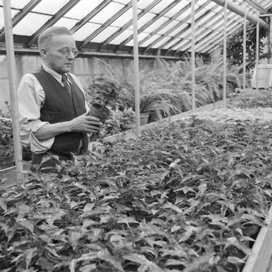 Man examining a potted plant in a greenhouse, black and white older photo